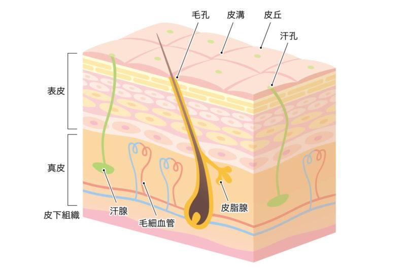 肌・汗腺の断面図